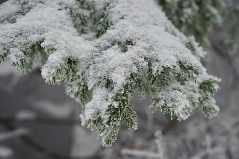 De sneeuwtak van de Pijnboomboom stock foto