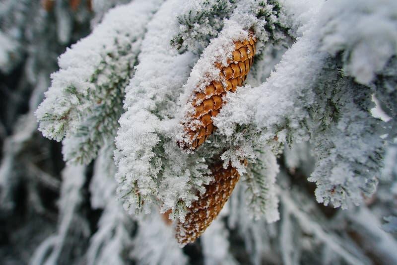 De sneeuwtak van de pijnboomboom met kegel stock afbeeldingen