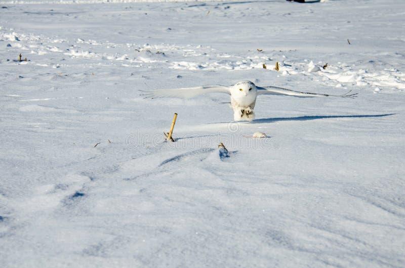 De sneeuwuil breidt zijn klauwen uit om een te eten veldmuis te vangen stock foto