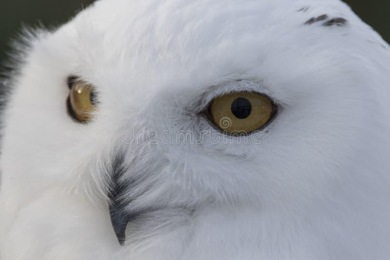De sneeuwuil, Bubo-scandiacus, sluit omhoog portret met oog en veerdetail plus vage sneeuwachtergrond de winter Schotland stock foto's