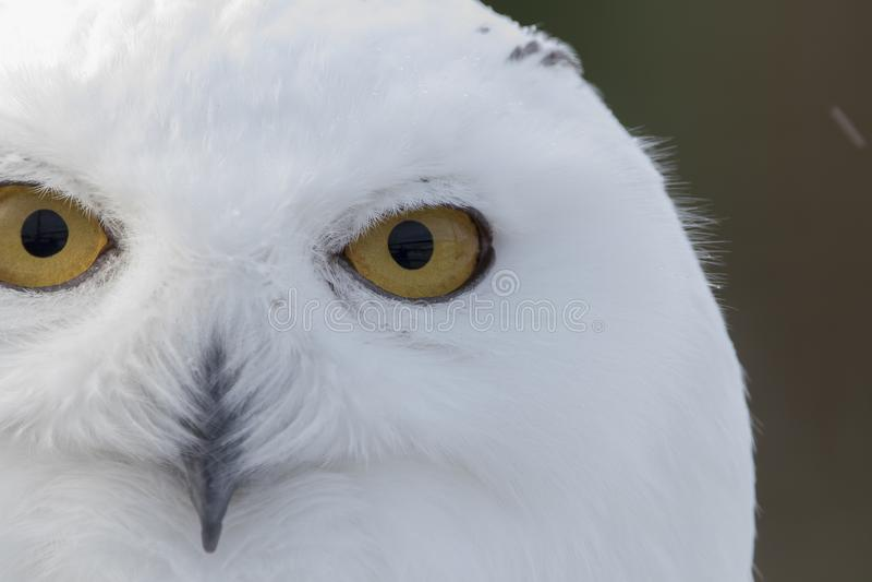De sneeuwuil, Bubo-scandiacus, sluit omhoog portret met oog en veerdetail plus vage sneeuwachtergrond de winter Schotland royalty-vrije stock fotografie