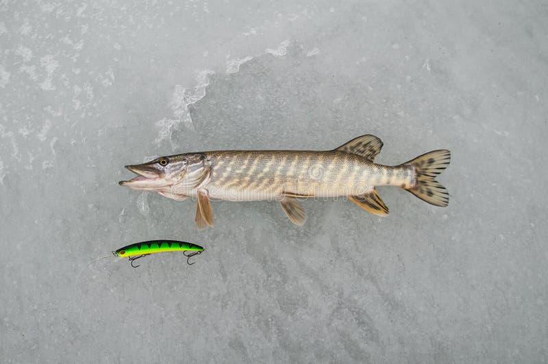 De snoekenvis ligt op sneeuw De winterijs visserijconcept royalty-vrije stock foto