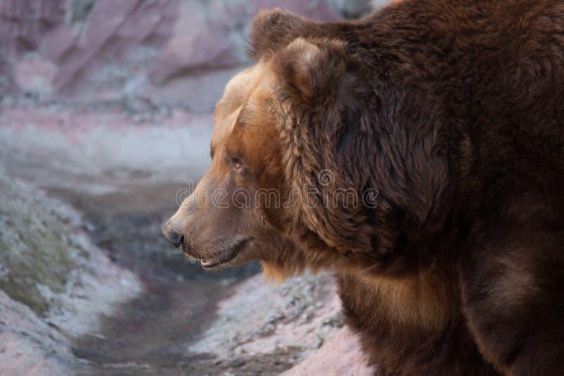 De snuit draagt in profiel Reusachtige krachtige bruin draagt close-up, sterk dier op een steenachtergrond royalty-vrije stock foto's