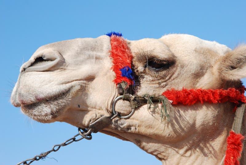 De snuit van de kameel in profiel stock afbeeldingen