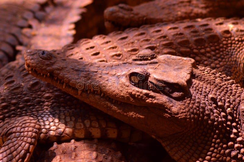 De snuit van estuarine krokodillen royalty-vrije stock foto's