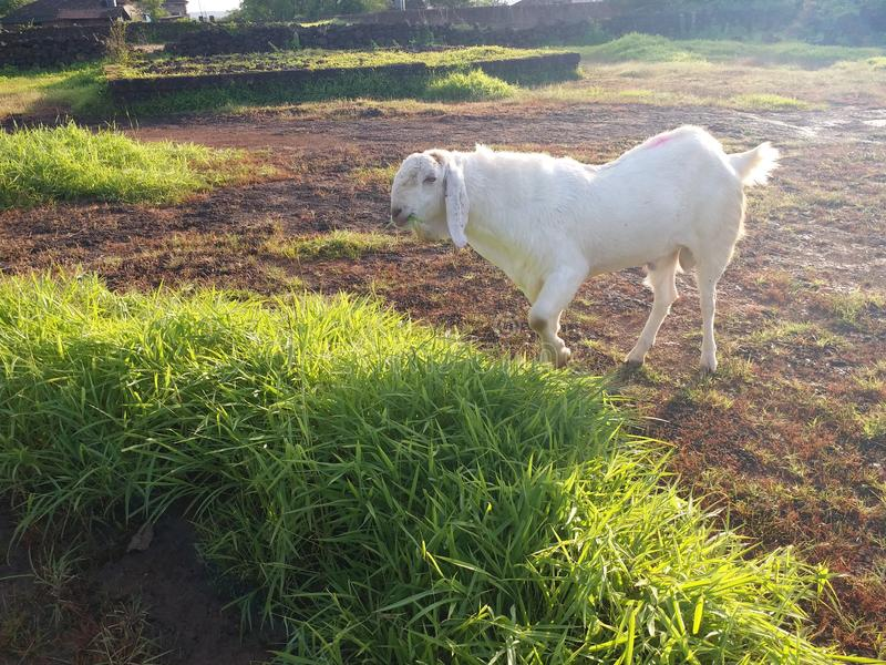 De sojaat de chèvre d'individu de charger mansoon lourd pur blanc indien images libres de droits