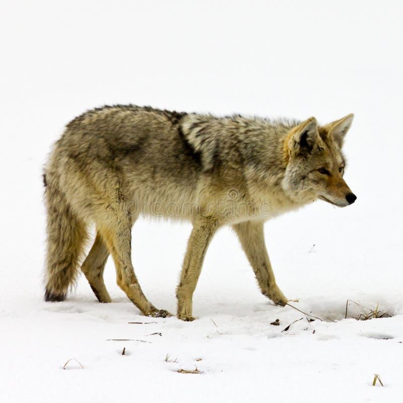 De solitaire Zoeken van de Coyote voor Voedsel in Yellowstone stock afbeeldingen