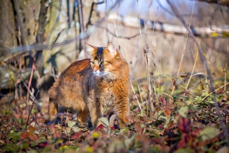 De Somalische kat jacht stock foto