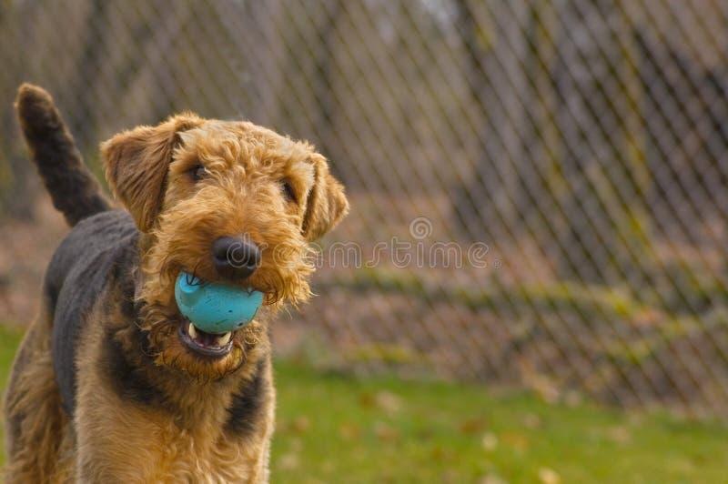 De speelse hond van de airedaleterriër met bal in mond stock foto