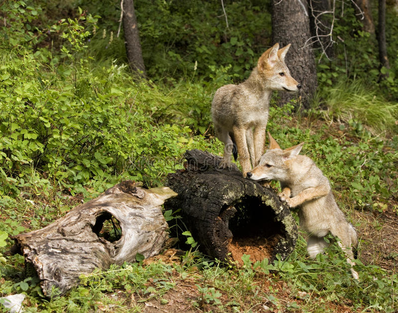 De speelse Jongen van de Coyote stock afbeelding