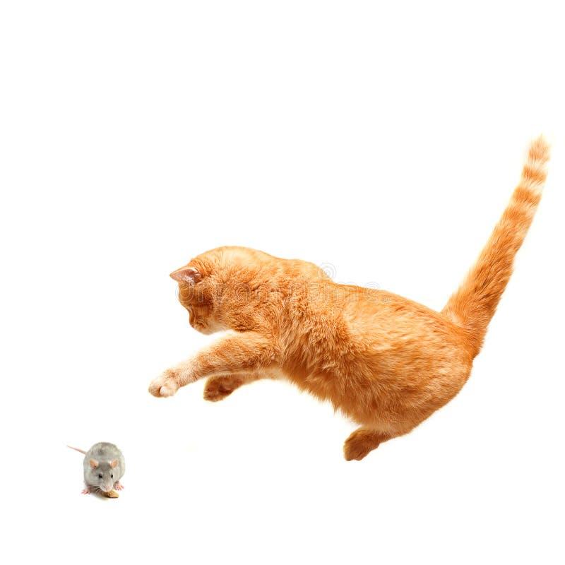 De speelse kat jaagt een geïsoleerdee muis - stock foto's