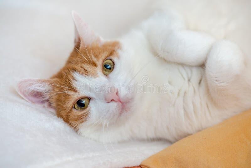 De speelse rust van de gemberkat op bed en het kijken recht aan camera stock foto