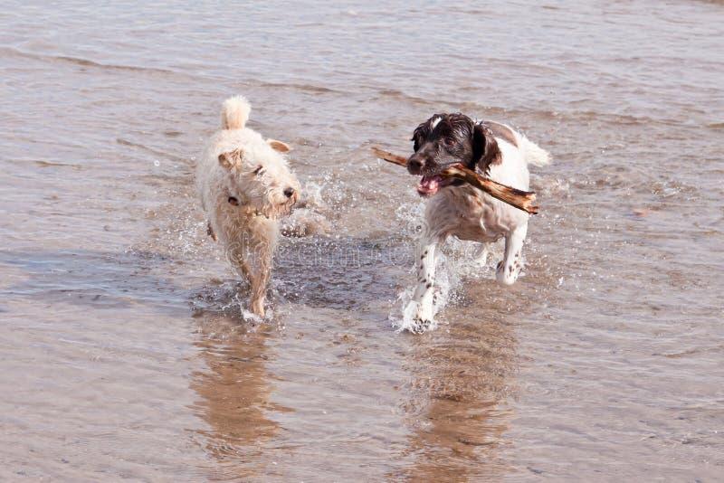 De speelse Stok van het Strand van Honden stock foto