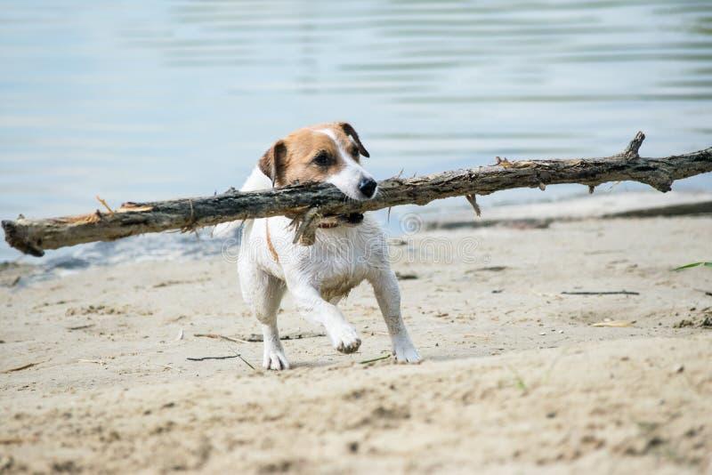 De spelen van hondjack russell met grote stok op het zandige strand tegen het blauwe rivierwater royalty-vrije stock fotografie