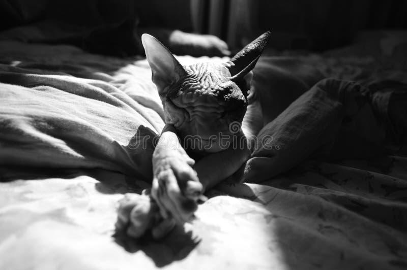De Sphynx-kattenslaap op een bed in zwart-witte tonen royalty-vrije stock foto