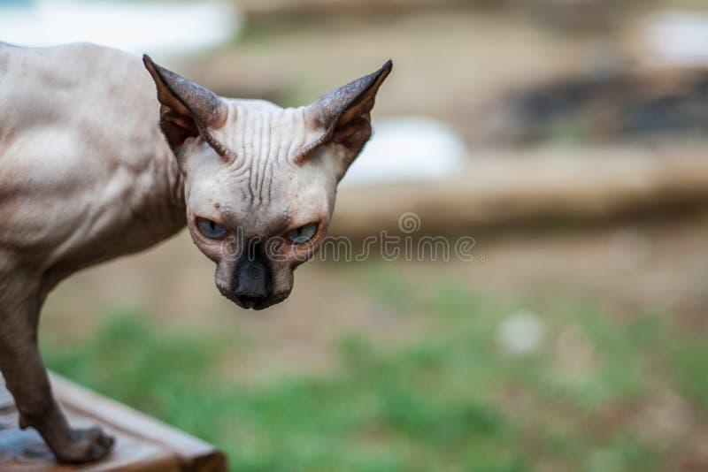 De Sphynxkat ontdekt de omgeving van het huis stock afbeeldingen