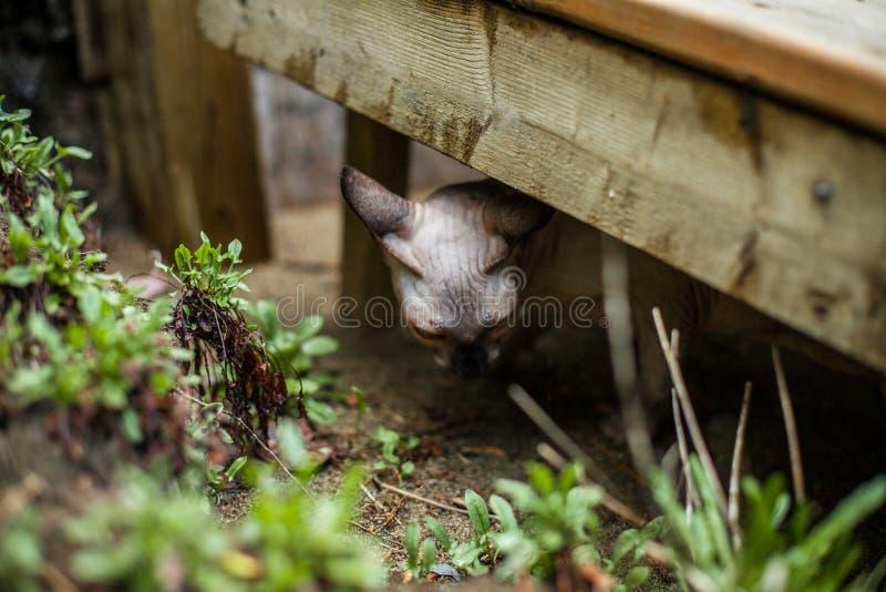 De Sphynxkat ontdekt de omgeving van het huis royalty-vrije stock foto