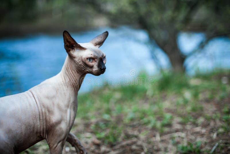 De Sphynxkat ontdekt de omgeving van het huis stock foto's