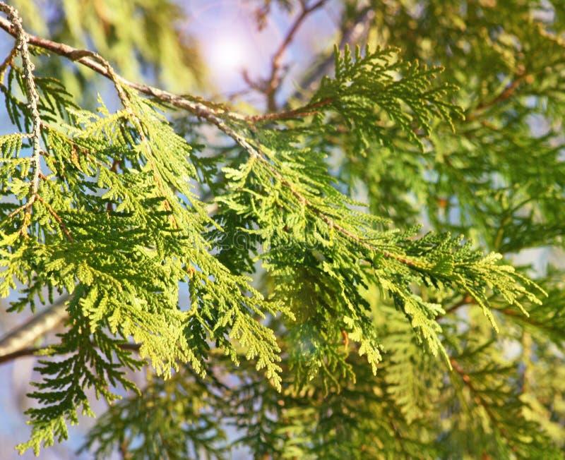 De spichtige takken en de bladeren van Cedar Tree met het verlichten van licht op achtergrond royalty-vrije stock fotografie