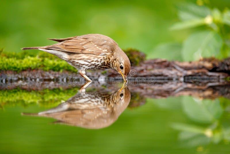 De spiegelbezinning van het vogelwater Grijze bruine philomelos van zanglijsterturdus, die in het water, de aardige tak van de ko royalty-vrije stock afbeeldingen
