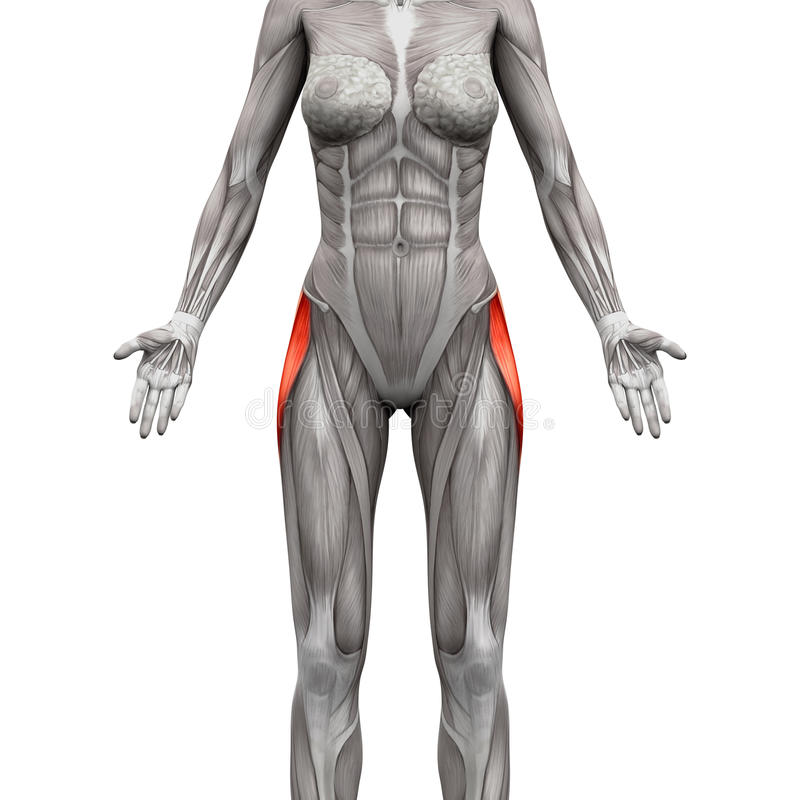De Spier van Latae van strekspierbanden - Anatomiespieren op wit worden geïsoleerd dat royalty-vrije illustratie