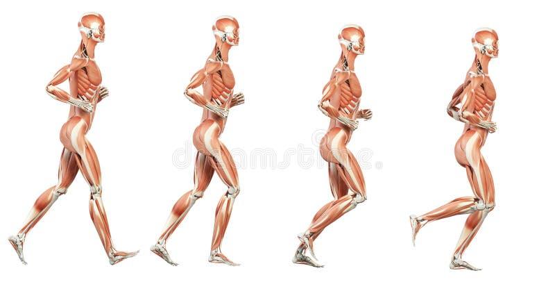 De spieren vector illustratie