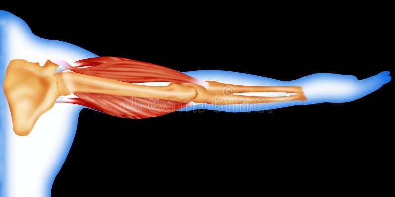 De spieren en het been van het lichaam vector illustratie
