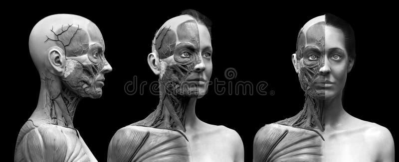 De spierenstructuur van de menselijk lichaamsanatomie van een wijfje royalty-vrije illustratie