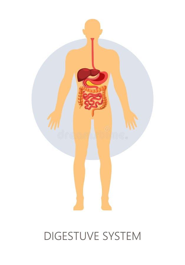 De spijsverteringssysteem geïsoleerde maag en de lever van anatomiedarmen stock illustratie