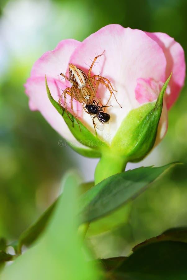 De spin die insecten op roze vangen nam toe stock afbeeldingen
