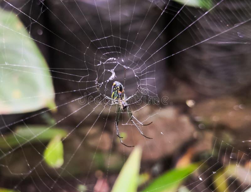 De spin van Argiopebruennichi onder gedetailleerd spiderweb stock foto's