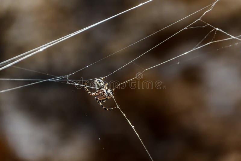 De spin van Argiopetrifasciata verborg in het centrum van zijn Webbergen Sluit omhoog, vage lavarotsen op de achtergrond r stock afbeeldingen