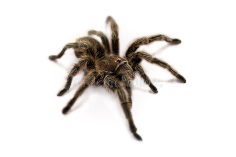 De Spin van de tarantula (wit BG) royalty-vrije stock foto
