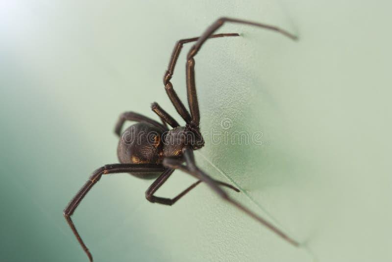 De Spin van de zwarte weduwe stock foto