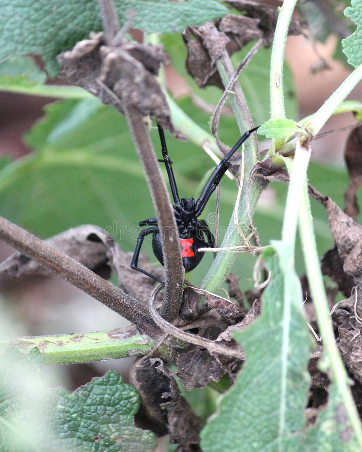 De Spin van de zwarte weduwe royalty-vrije stock afbeeldingen