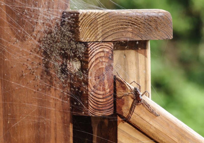 De Spin van het moedergras met haar scores van ontelbare enkel uitgebroede babyspinnen stock afbeelding