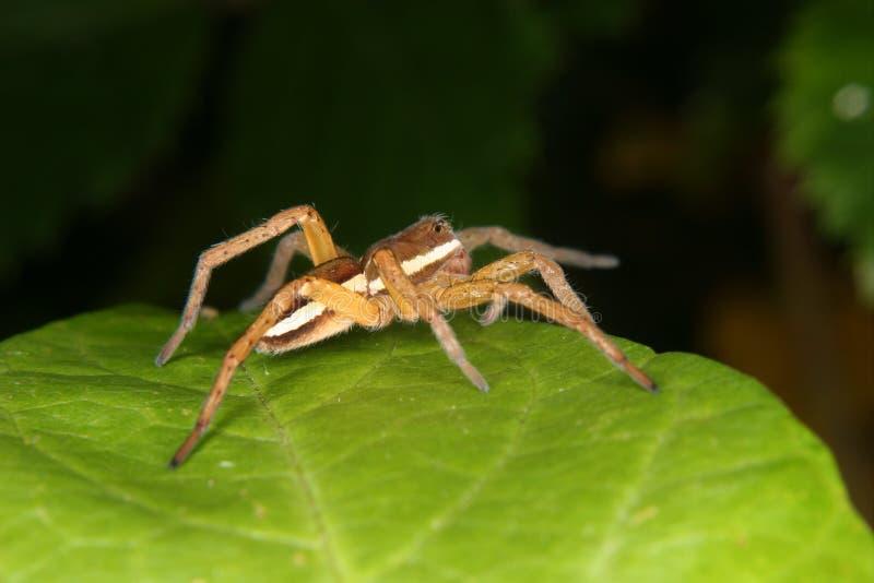 De spin van het vlot (fimbriatus Dolomedes) stock foto's