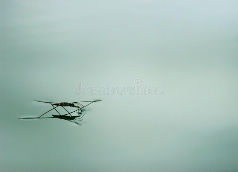 De spin van het water of vijverschaatser stock fotografie