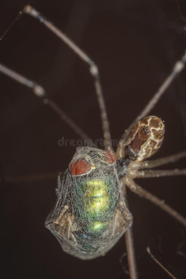 De spin ving een vlieg in het netwerk en het zuigen stock foto