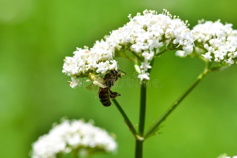 De spin ving zijn bijenprooi royalty-vrije stock afbeeldingen