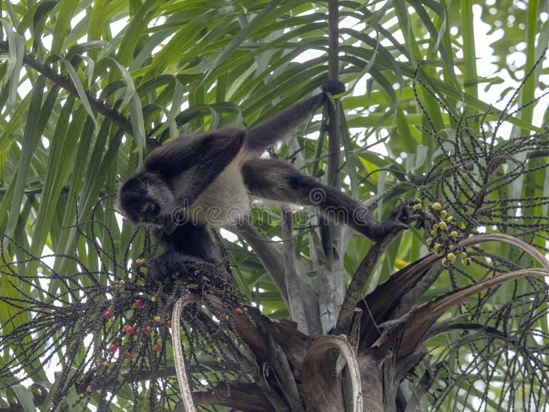 De spinaap, Ateles-geoffroyi, kiest slechts rijpe vruchten in het regenwoud, Guatemala royalty-vrije stock afbeeldingen