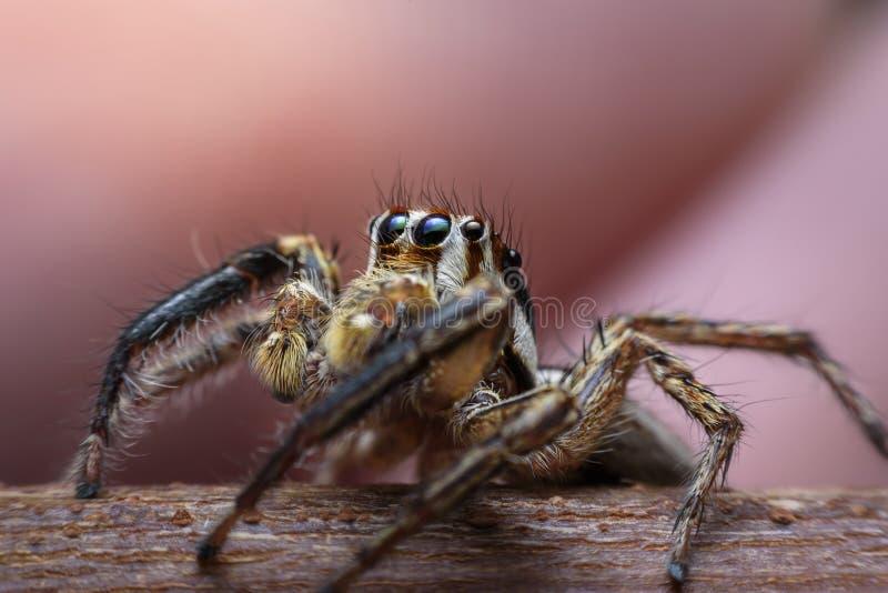 De spinnen met veelvoudige ogen ontwijken willekeurig het camoufleren van de prooi die als macrobeeld interessant kijkt royalty-vrije stock foto