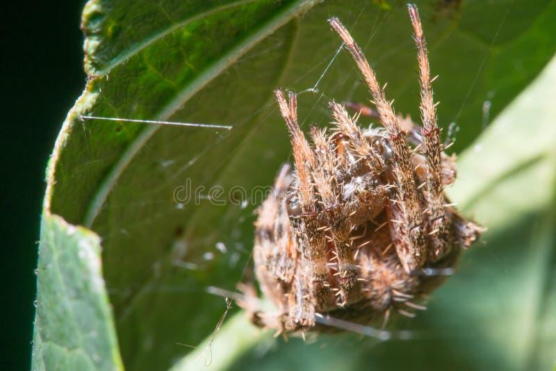 De spinspecies van de binnenplaatsspinachtige in haar/zijn Web op het achtereind van een groen blad - in Minnesota stock foto