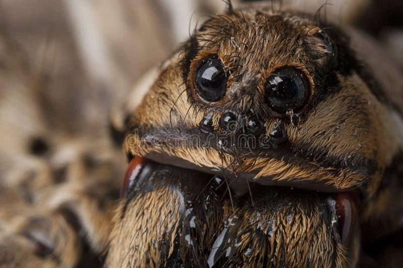 De spinspecies van de close-upwolf, Lycosa-tarantula stock foto's