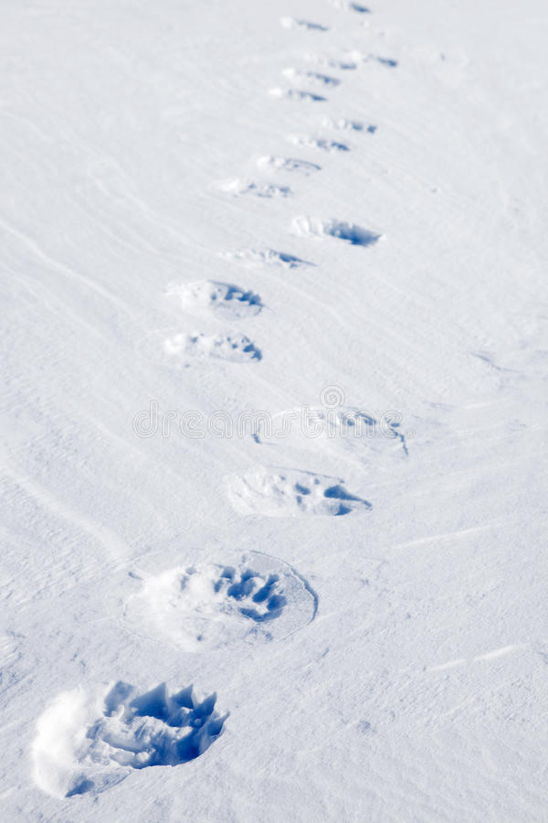 De Sporen van de Ijsbeer stock fotografie