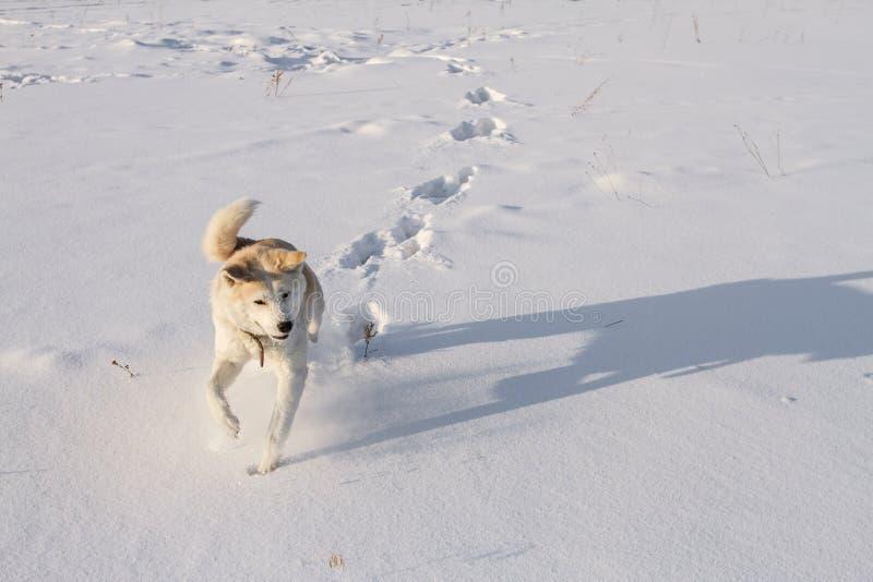 De sportieve looppas van hond Japanse Akita Inu langs schoonste snowfield in een heldere zonnige de winterdag in Siberië royalty-vrije stock fotografie