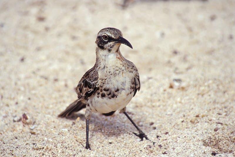 De spotlijster van de kap, de Eilanden van de Galapagos, Ecuador royalty-vrije stock fotografie