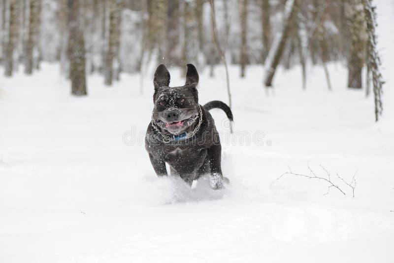 De springende Napolitaanse Mastiff van de hond royalty-vrije stock afbeelding