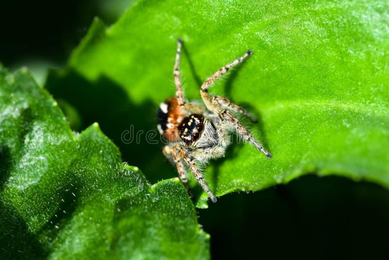 De springende spin jacht voor prooi op een groene achtergrond royalty-vrije stock fotografie