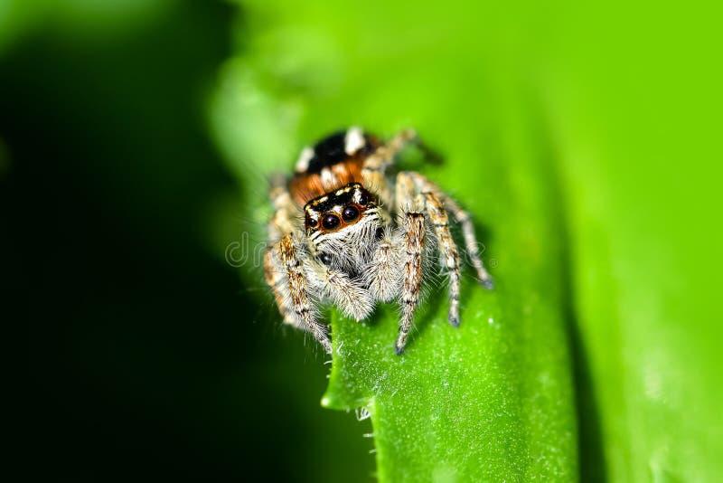 De springende spin jacht voor prooi op een groene achtergrond stock afbeeldingen